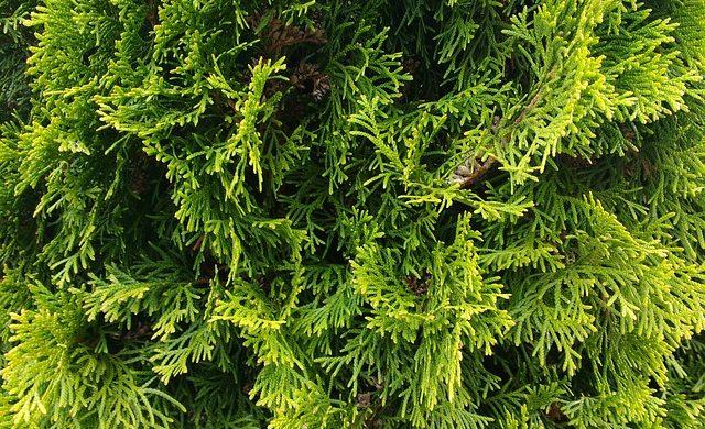 Thujen schneiden – der Garten-Experte machts!